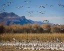 Incoming Geese at Bosque del Apache
