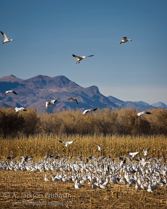 Snow geese landing at Bosque del Apache