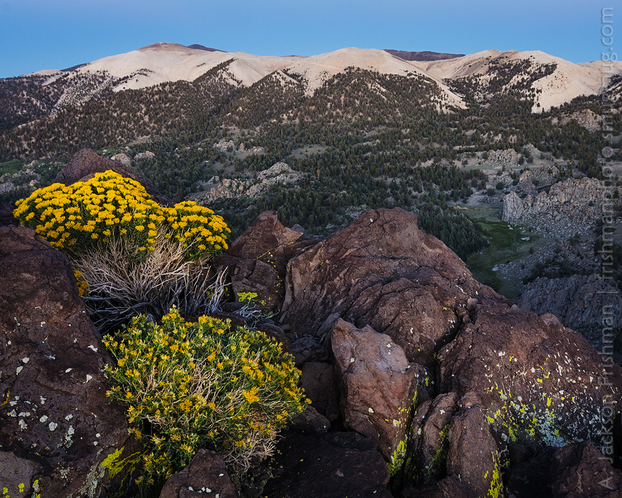 Rabbitbrush Dawn