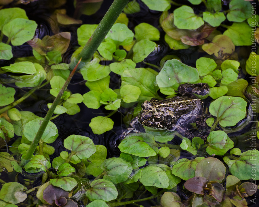 Black Toad on Green