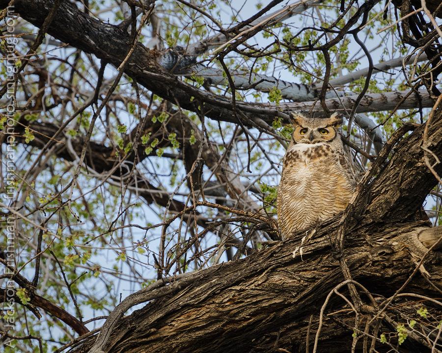 Deep Springs Owl 2