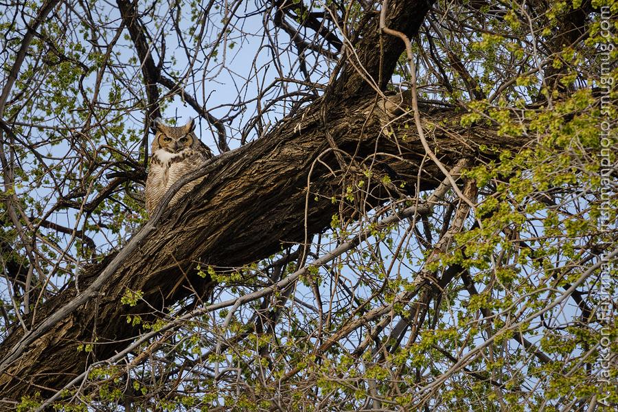 Deep Springs Owl