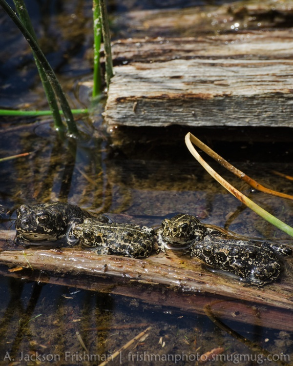 Four Toads Basking