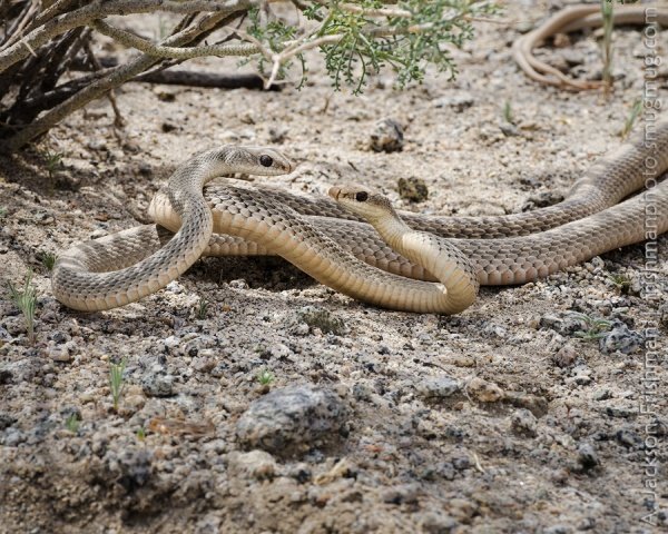 Snake Pair