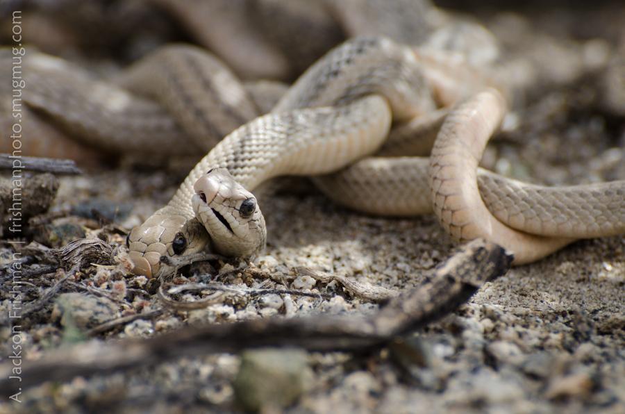 Wrestling Snakes