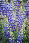 Lupines in the Inyo Mountains, California