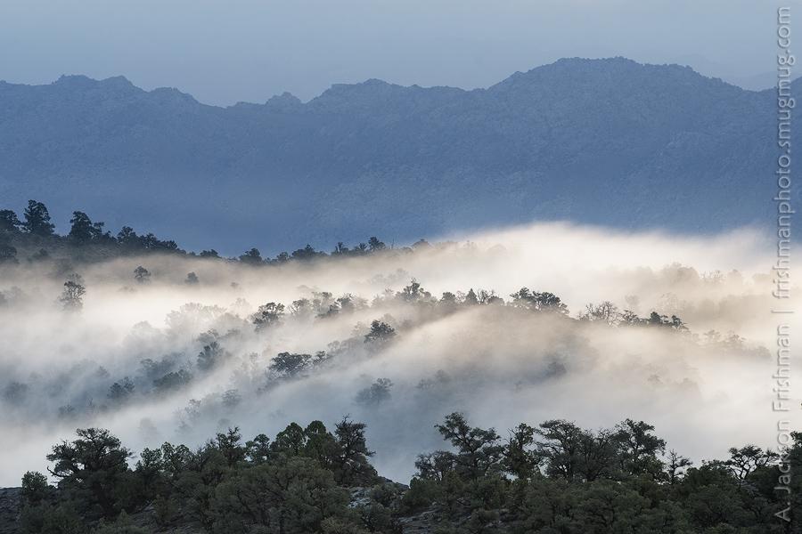 Westgard Fog Trees