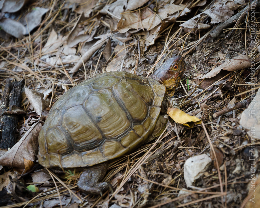 Arkansas Tortoise