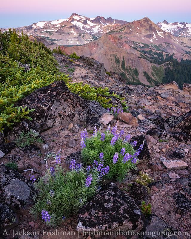 Lupine in twilight glow before sunrise, Goat Rocks Wilderness, Washington