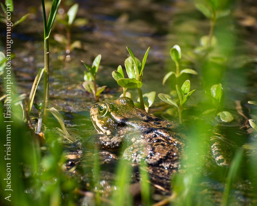 Verdure Frog