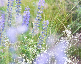 Lupine in Grass